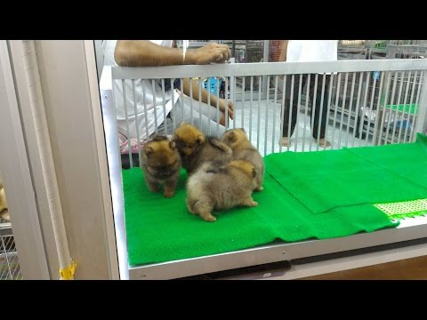 VLOG: Hundewelpen auf dem Chatuchak Market Bangkok - Nudeldessert Lod Chong