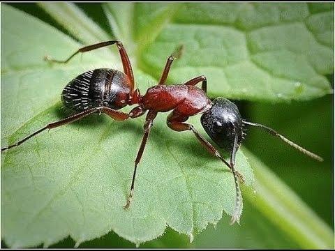 4.Муравьи. Как избавиться от муравьев в теплице