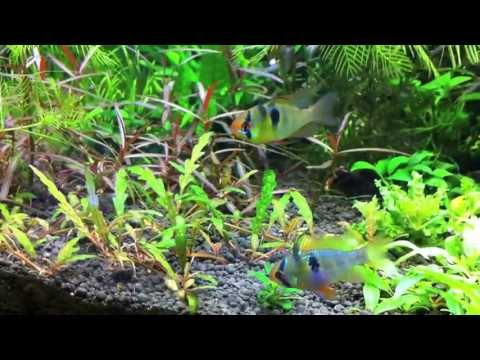 German Blue Ram Dwarf Cichlids in Planted Aquarium