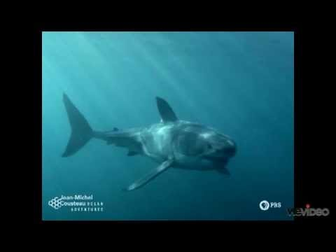 The Life of a Great White Shark