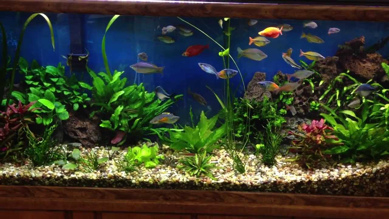 Rainbow Fish In Beautiful Planted Fresh Water Aquarium