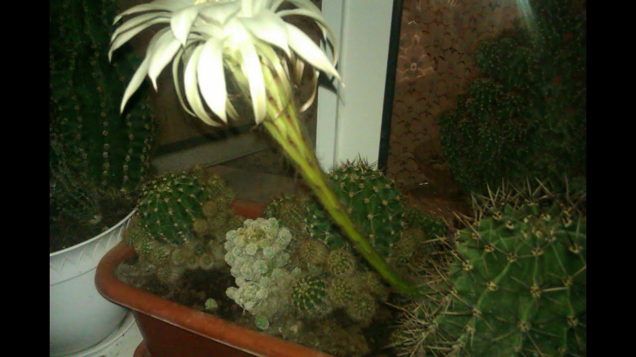 Кактусы уход и выращивание в домашних условиях 80