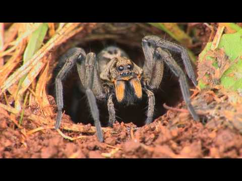 Wolf Spiders video