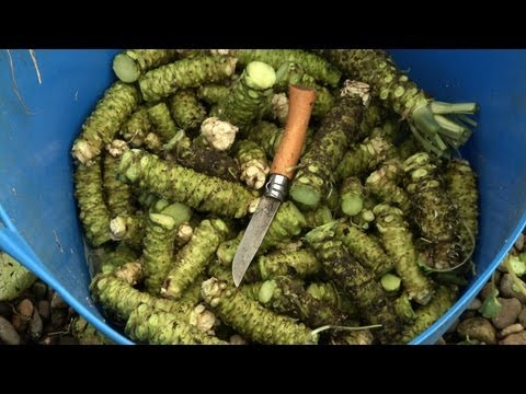 Visit to a Rare Wasabi Farm
