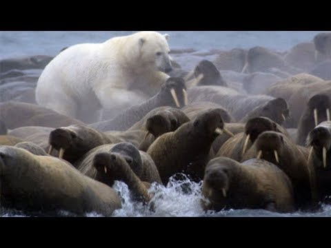 Polar Bear Versus Walrus Colony - BBC Planet Earth