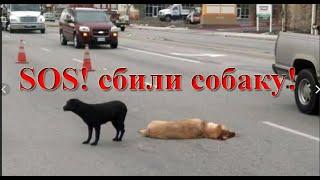 Что делать, если сбили собаку.