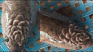 Con cá có hoạ tiết kỳ lạ trên đầu khiến dân mạng xôn xao trả giá 10 tỷ đồng