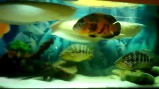 Интерактивный аквариумный туризм Сезон 2 Выпуск 29(Стандартный аквариум с крупной рыбой)