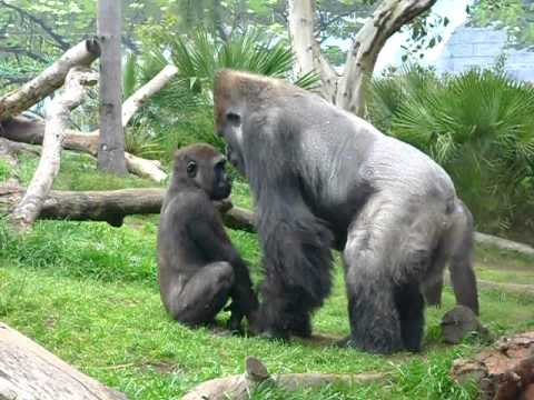 Watch Gorilla Fighting at San Diego Zoo.AVI