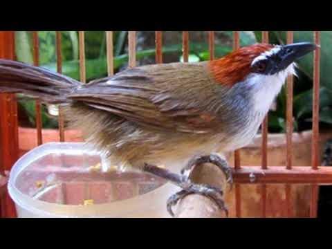 Terbukti Ampuh!!!! Masteran Burung Kidangan Istimewa Bikin Gacor Ngeplong!!!