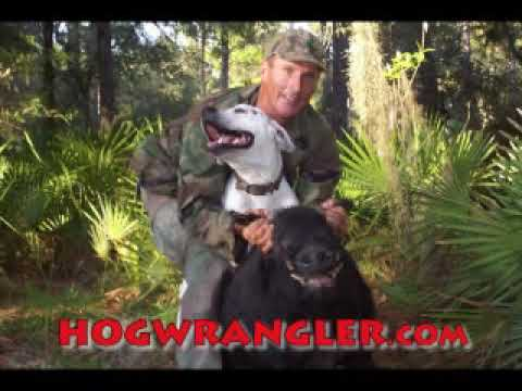 Wild Boar Hog Dogs Battle At 2 Months Old Video