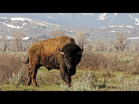 Bison: Our national mammal?