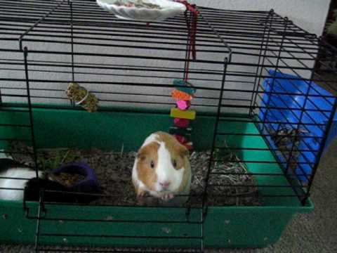 Guinea Pig Opens & Closes Cage!