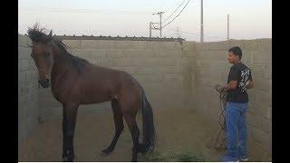 حصان يهاجم راعيه ويحاول يعضه ويصقله -  حل المشكلة في 5 دقائق