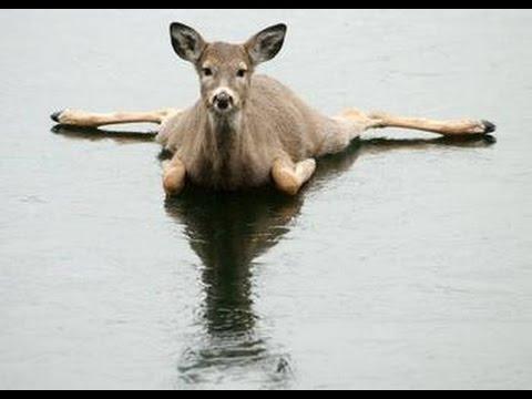 funny deer pictures. Funny Deer Videos | Funny Deer