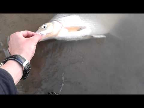 ловля лещей на сети видео