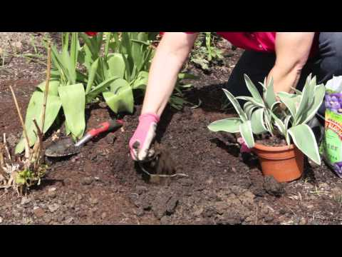 Transplanting Tulips After Bloom How to Transplant Tulips