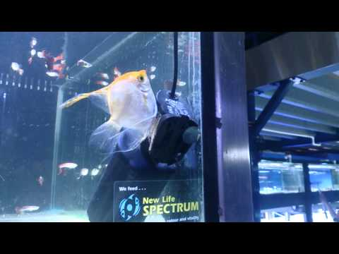 Fish Porn! Xxx Angelfish Actually Breeding! video