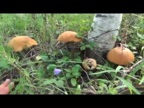 Подосиновик массовый сбор Тайга, сибирь, грибы, охота, рыбалка, выживание