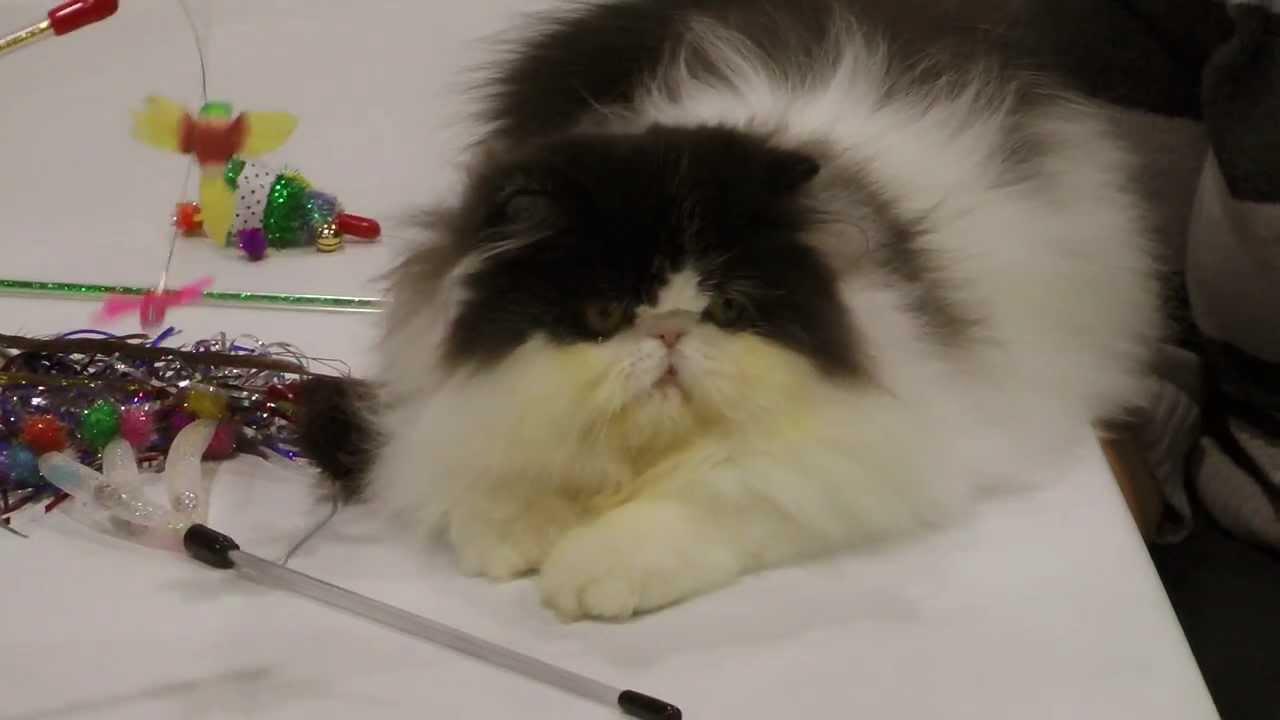 persian cats  himalayan cat  cat show  the javits center