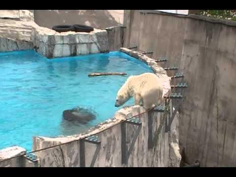淵を歩くコグマとプールに誘うララ 円山動物園ホッキョクグマ2011.6.30