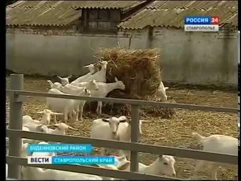 Ставропольских козоводов ставят в пример