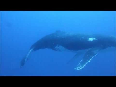 A Surprise Diving Encounter with a Giant Humpback Whale