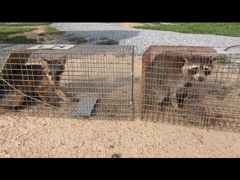 how to catch a raccoon without a trap