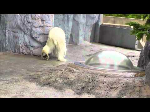 2011年7月4日 旭山動物園 ホッキョクグマ ピリカの往復歩き