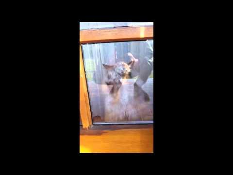 窓をパタパタする目が青い猫