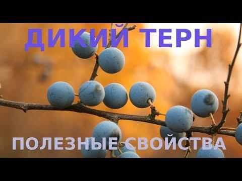 ДИКАЯ СЛИВА ТЕРН. ПОЛЕЗНЫЕ СВОЙСТВА ЯГОД