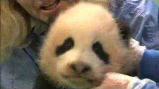 Panda Cub gets her first vaccination.