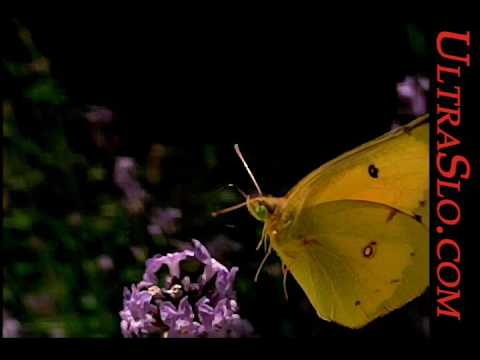 ButterFly in UltraSlo slow motion 5000FPS