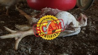 "WATCH: Shocking Animal Abuse Exposed at ""American Humane Certified"" Foster Farms Slaughterhouse"
