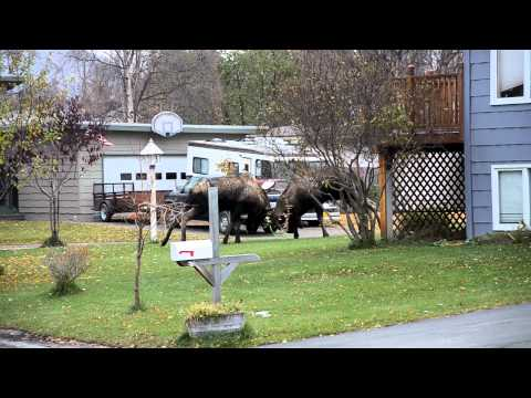 Alaska Bull Moose Street Fighting