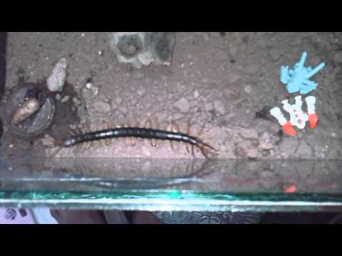 Giant centipede