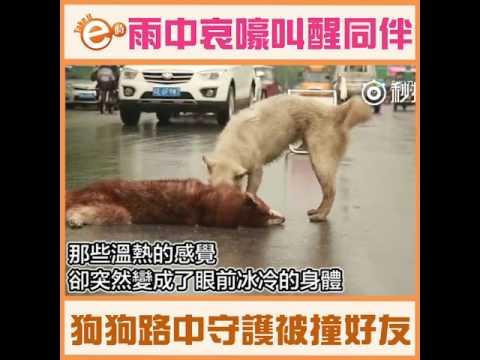 雨中哀嚎叫醒同伴 狗狗路中守護被撞好友