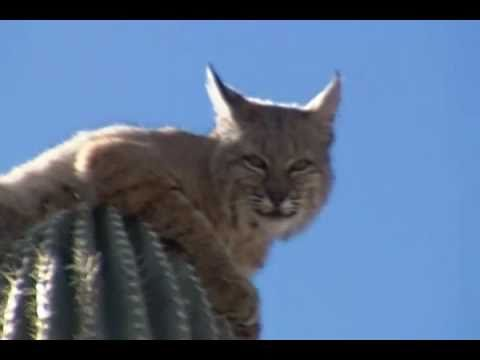 BOBCAT on a Cactus in Gold Canyon, Arizona (Gold Canyon Bob)