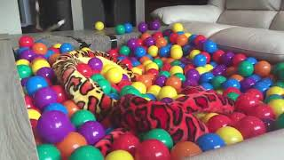 Puppy gets DIY Ball Pit Surprise : Funny Dogs Louie and Marie
