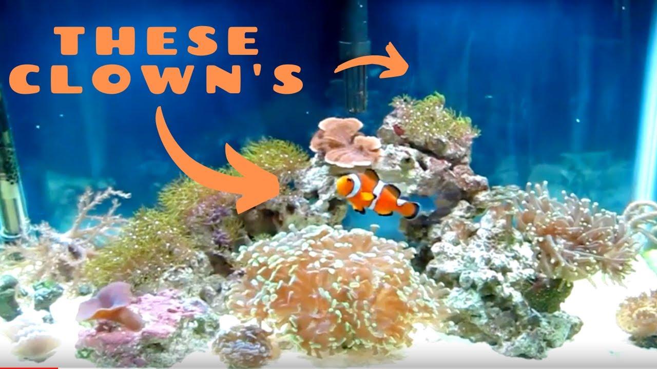 10 gallon saltwater aquarium clownfish youtube