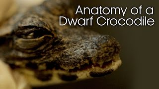 Anatomy of a Dwarf Crocodile (Part One) - Earth Unplugged