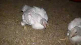 Undercover Video of Foster Farms