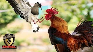 Batalla de un Gallo vs Pajaro |  Rooster vs Bird battle | Batalla Animal 2016