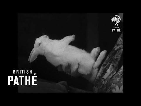 Thumbnail of video Weird! Hypnotised Rabbits!