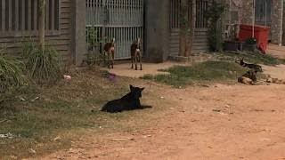 Big Dog Protects His Wife From More Other Dogs, Dog In Rural Area