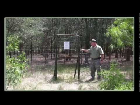 Tips on Building and Operating Corral Traps for Feral Hogs