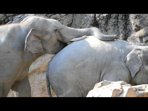 アジアゾウの交尾前、求愛行動