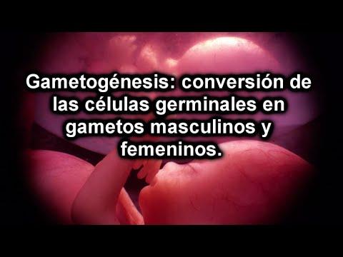 Gametogénesis: conversión de las células germinales en gametos masculinos y femeninos (1 de 3)