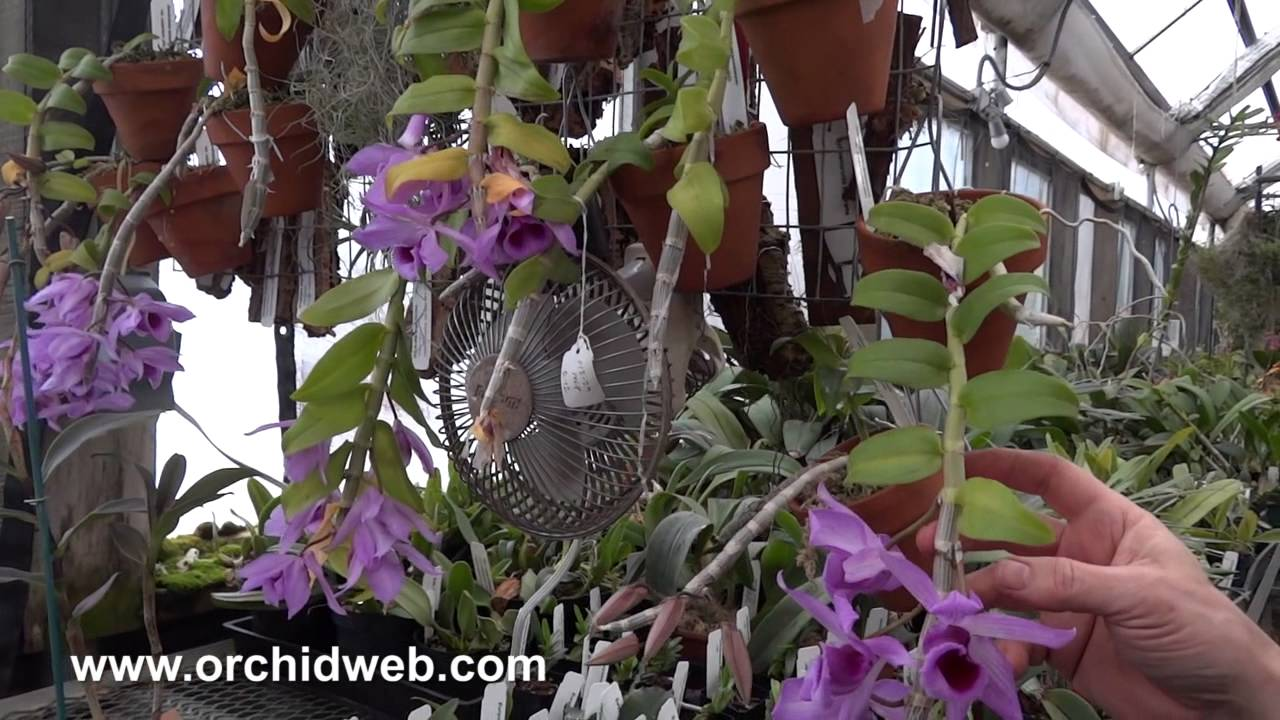 2010 06 01 archive likewise How To Care For Orchids as well How To Care For Orchids also Orchids as well Watch. on dendrobium orchid care