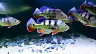 Интерактивный аквариумный туризм Сезон 2 Выпуск 12(Я щас закончу вообще всё!(с))